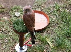 Il falco Haiden