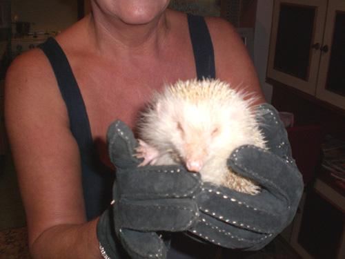 riccio albino