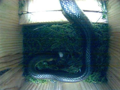 Serpente si mangia le uova