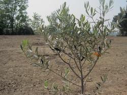 Gli ulivi del monte bernasco