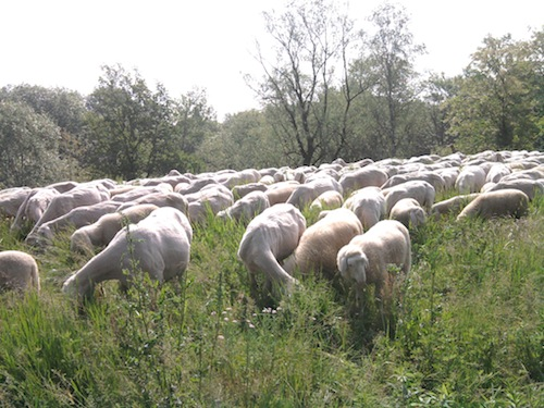 pecore giardiniere alla whirlpool di cassinetta