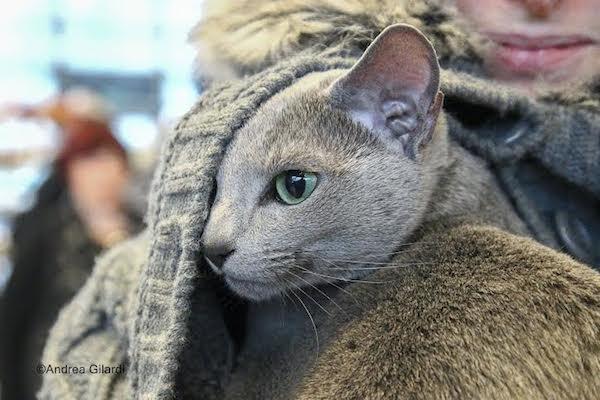gatti cernobbio