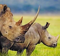 Nella statua di Buddha due corni di rinoceronte