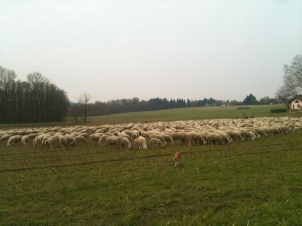 gregge di pecore a barza ispra
